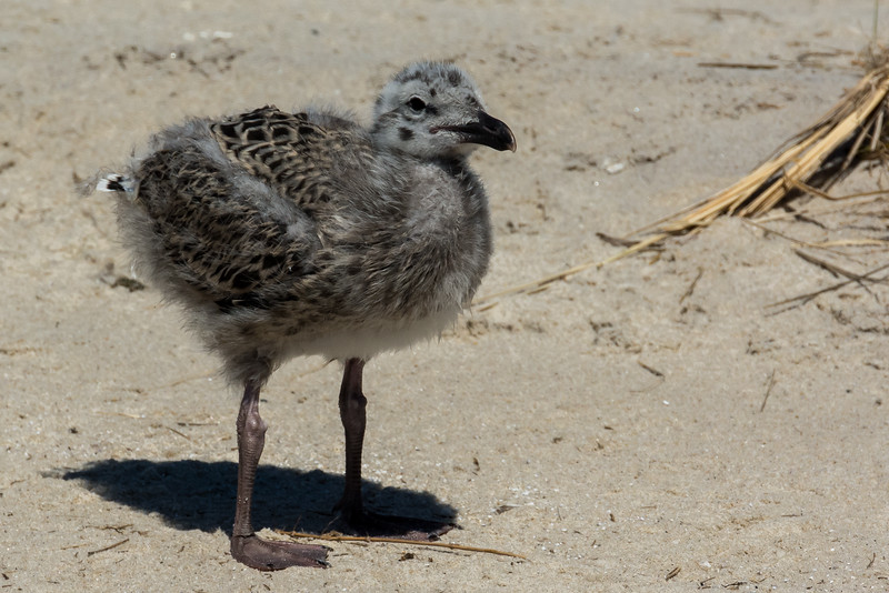 NAb6899 Great Black-backed Gull (Larus marinus) Chick, Monomoy Island, Chatham, MA
