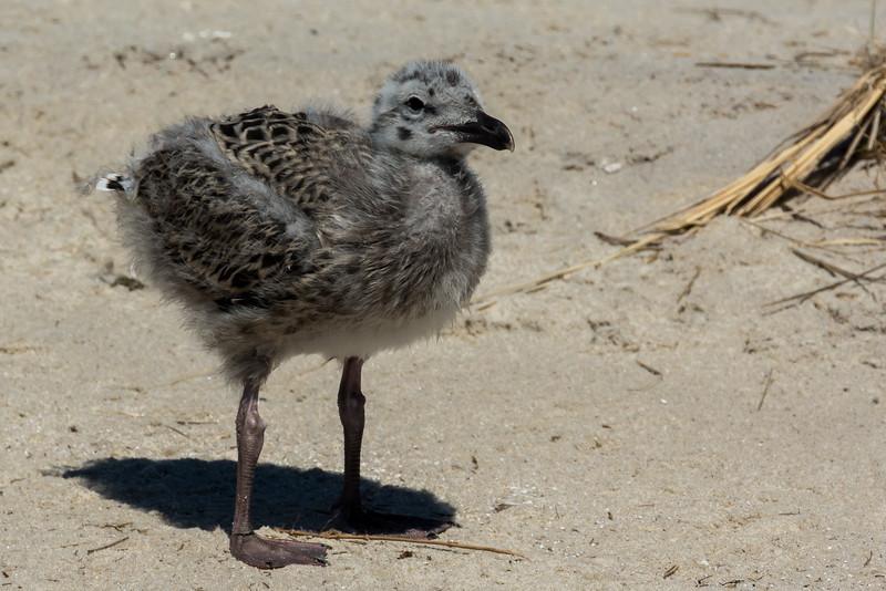 NAb6899 Great Black-backed Gull (Larus marinus) Chick, Monomoy Island, Chatham, MA
