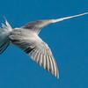 NAb6912 Common Tern (Sterna hirundo), Monomoy Island, Chatham, MA