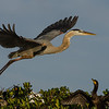 NAb1599 - Great Blue Heron (Ardea herodias)