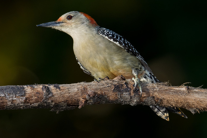 NAb6901 Red-bellied Woodpecker (Melanerpes carolinus), Dunwoody, GA