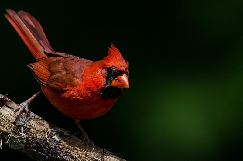 NAb6873  Northern Cardinal (Cardinalis cardinalis) male, Atlanta, GA