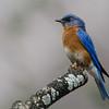 NAb6664 Eastern Bluebird (Sialia sialis), spring, Atlanta, GA