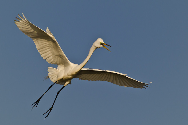 NAb516 - Great Egret (Ardea alba)
