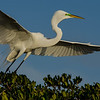NAb1566 - Great Egret (Ardea alba)