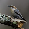 NAb6669 Brown-headed Nuthatch (Sitta pusilla), spring, Atlanta, GA