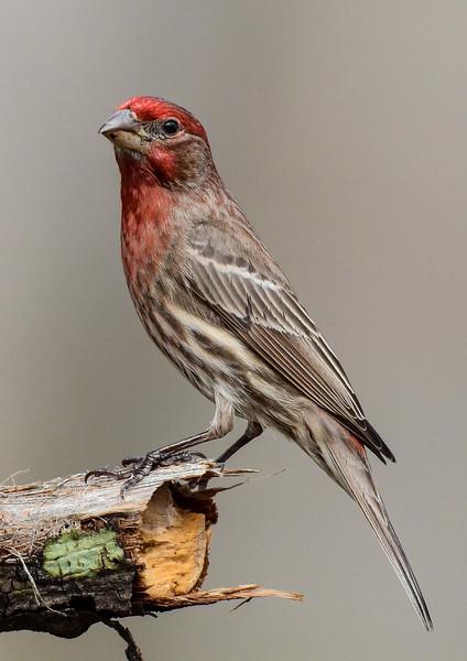 NAb6611 House Finch (Haemorhous mexicanus) male, spring, Atlanta, GA