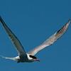 NAb6909 Common Tern (Sterna hirundo), Monomoy Island, Chatham, MA