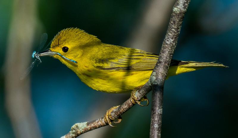 NAb7492 Yellow Warbler (Setophaga petechial), Camden, ME