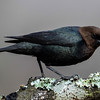 NAb6594 Brown-headed Cowbird-(Molothrus ater), spring, Atlanta, GA-