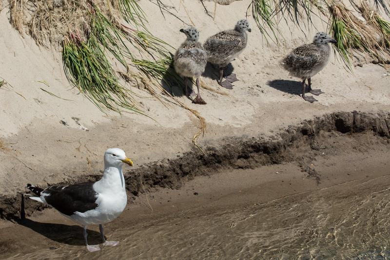 NAb6884 Great Black-backed Gull (Larus marinus) with Chicks, Monomoy Island, Chatham, MA