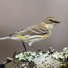 NAb6604 Yellow-rumped Warbler (Dendroica coronata), spring, Atlanta, GA_