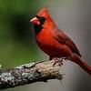 NAb6705 Northern Cardinal (Cardinalis cardinalis), male, spring, Atlanta, GA