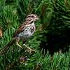NAb7504 Song Sparrow (Melospiza melodia), Summer, Camden, ME -