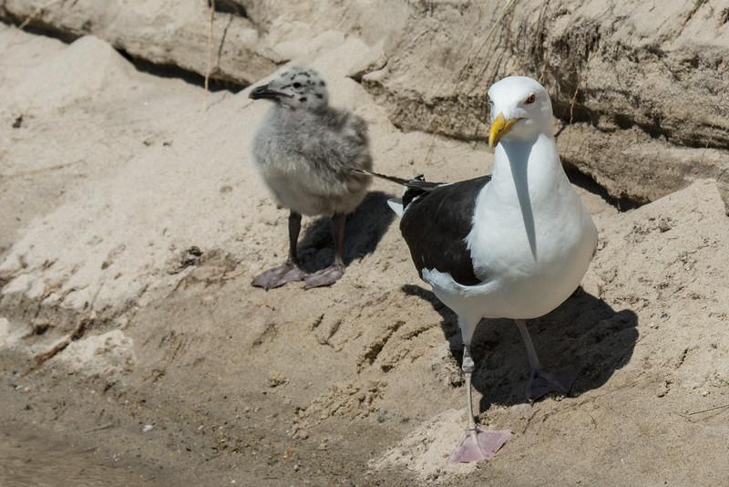 NAb6871 Great Black-backed Gull (Larus marinus) with Chick, Monomoy Island, Chatham, MA