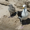NAb6871 Great Black-backed Gull (Larus marinus) with Chick, Monomoy Island, Chatham, MA