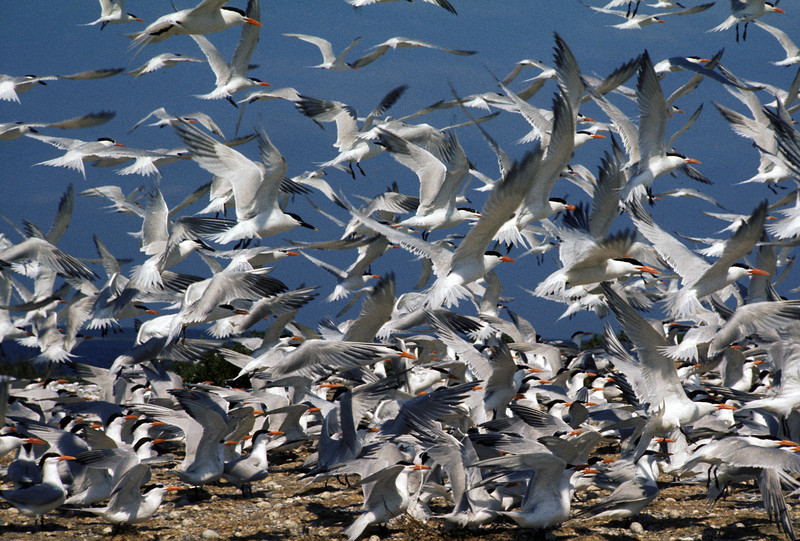 NAb6 - Royal Terns (Thalasseus maximus)