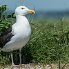 NAb6846 Great Black-backed Gull (Larus marinus), Monomoy Island, Chatham, MA