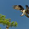 NAb451 - Osprey Flying (Pandion haliaetus)
