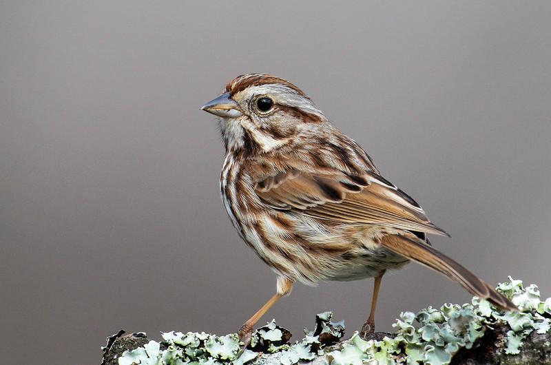 NAb6601 Song Sparrow (Melospiza melodia), spring, Atlanta, GA