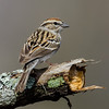NAb6626 Chipping Sparrow (Spizella passerina) spring, Atlanta, GA
