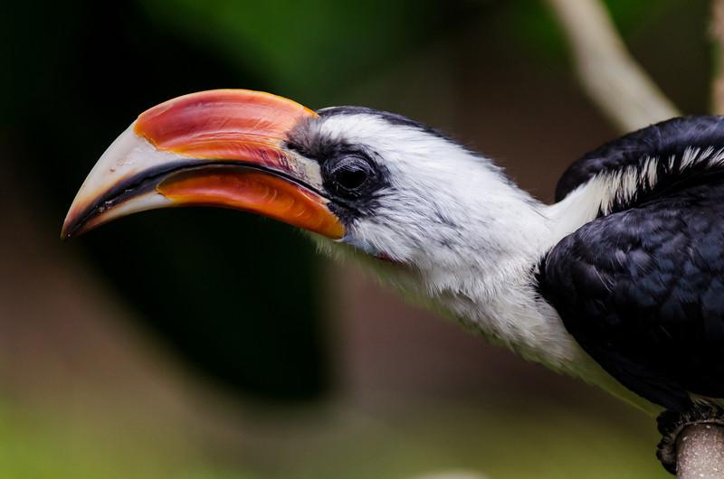 NAb6814 Von der Decken's Hornbill (Tockus deckeni), spring, Zoo Atlanta, Atlanta, GA