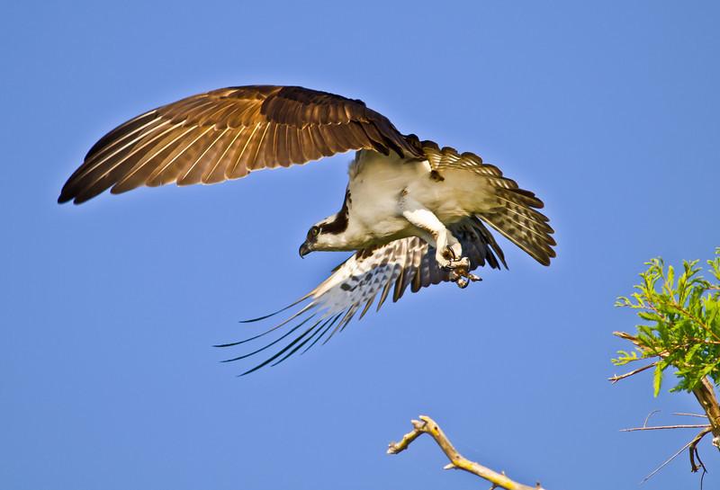 NAb447 - Osprey Flying (Pandion haliaetus)