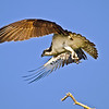 NAb447 - Osprey Flying (Pandion haliaetus)
