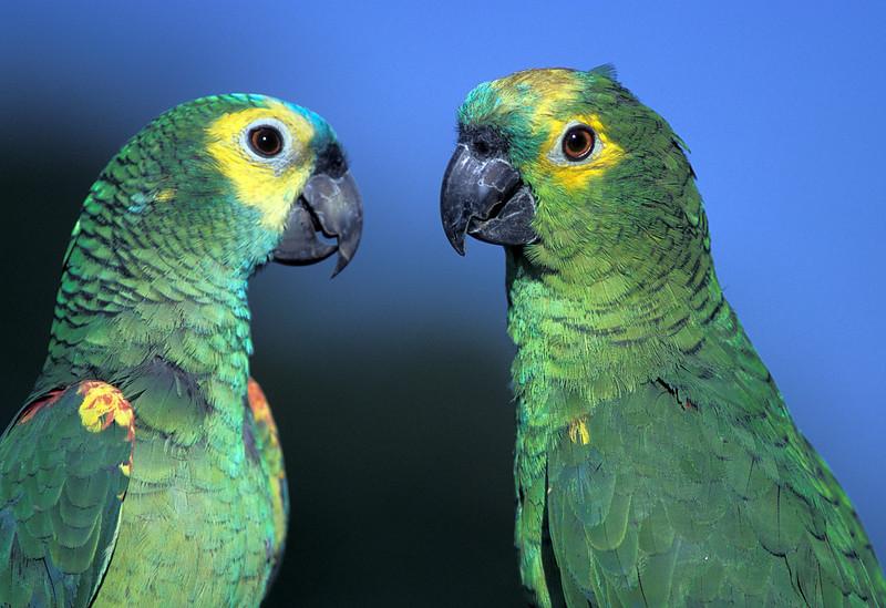 NAb40 - Yellow-crowned Amazon Parrot aka Yellow-fronted Amazon (Amazona ocrocephala ocrocephala)