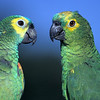NAb40 - Yellow-crowned Amazon Parrot aka Yellow-fronted Amazon (Amazona ocrocephala ocrocephala)