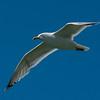 NAb6853 Great Black-backed Gull (Larus marinus), Monomoy Island, Chatham, MA