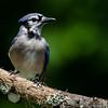 NAb6871 Blue Jay (Cyanocitta cristata) male, spring, Atlanta, GA