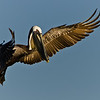 NAb456 - Brown Pelican (Pelecanus occidentalis)