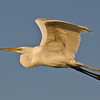 NAb513 - Great Egret (Ardea alba)