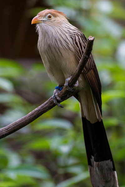 NAb6882 Guira Cuckoo (Guira guira), spring, Zoo Atlanta, Atlanta, GA