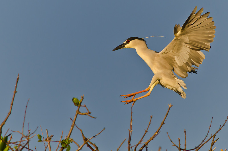 NAb508 - Black-crowned Night Heron (Nycticorax nycticorax)
