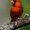 NAb6690 Northern Cardinal (Cardinalis cardinalis), male, spring, Atlanta, GA
