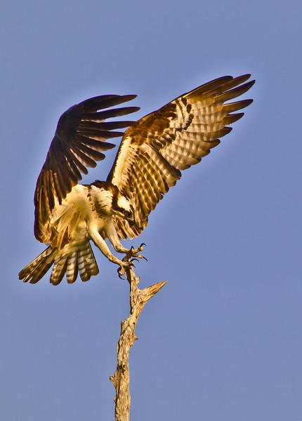 NAb445 - Osprey (Pandion haliaetus)