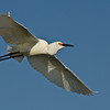 NAb523 - Snowy Egret (Egretta thula)