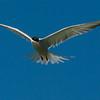 NAb6918 Common Tern (Sterna hirundo), Monomoy Island, Chatham, MA