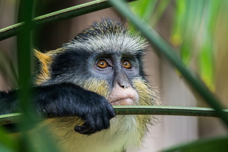 NAa359 Mona Monkey (Cercopithecus mona), Atlanta Zoo, Atlanta, GA