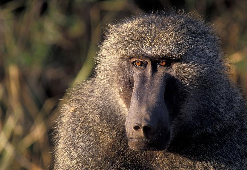NAa39 - Baboon (Papio cynocephalus)