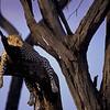 NAa91 - Leopard (Panthera pardus)