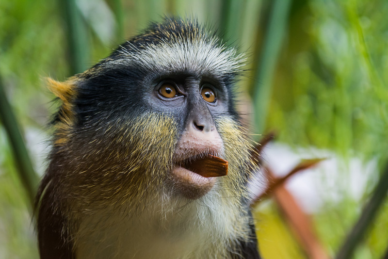 NAa362 Mona Monkey (Cercopithecus mona), Atlanta Zoo, Atlanta, GA