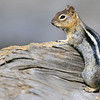 NAa83 - Golden-mantled Ground Squirrel (Callospermophilus lateralis)