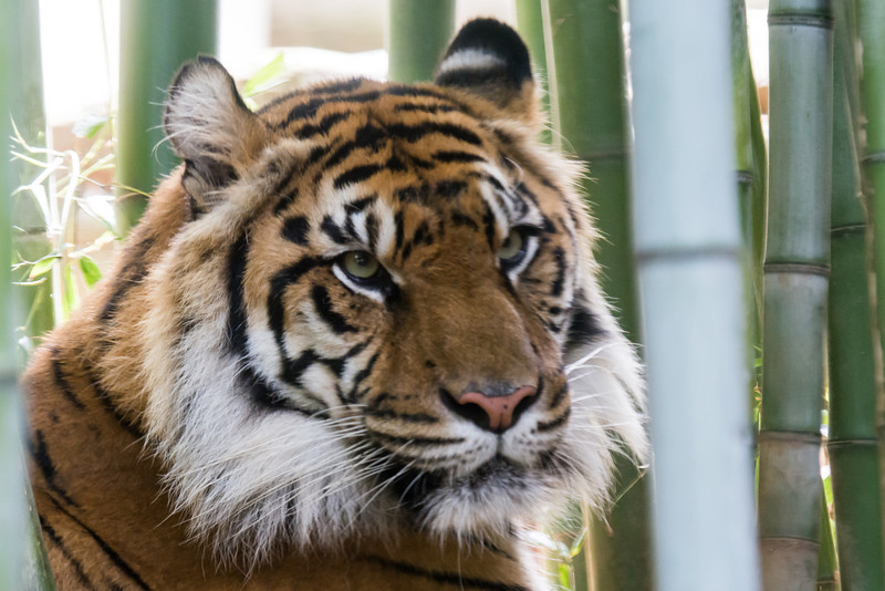 NAa373 Sumatran tiger (Panthera tigris sumatrae), Atlanta Zoo, Atlanta, GA