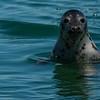 NAc1143 Grey Seal (Halichoerus grypus), Monomoy Island, Chatham, MA