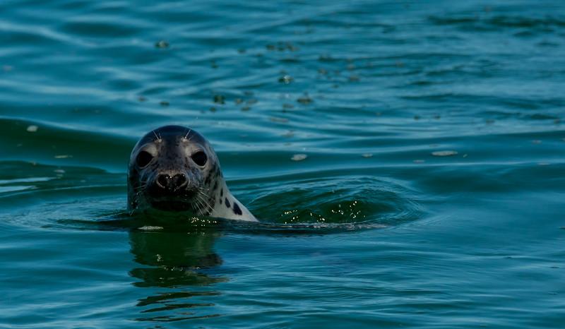 NAc1145 Grey Seal (Halichoerus grypus), Monomoy Island, Chatham, MA