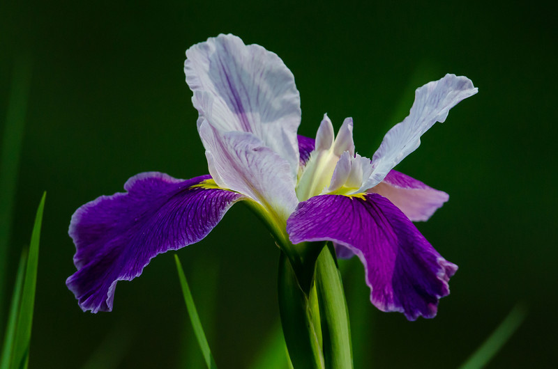 NBa1340  Blue Flag Iris (Iris versicolor), Newman Wetlands Center, Hampton, GA