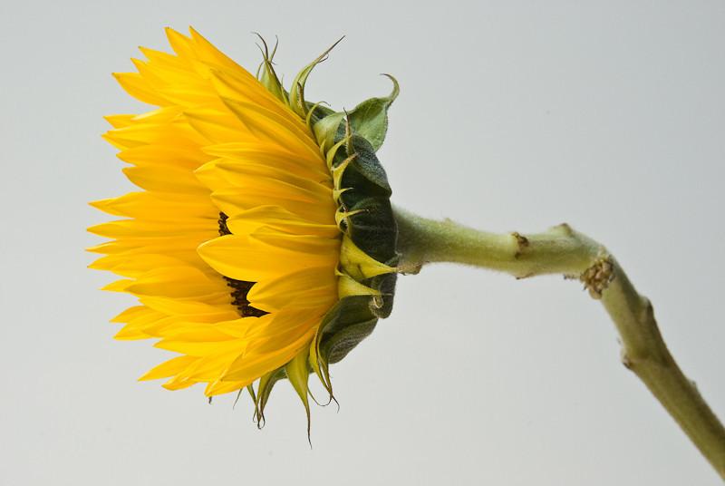 NBa131 - Sunflower (Helianthus sp)